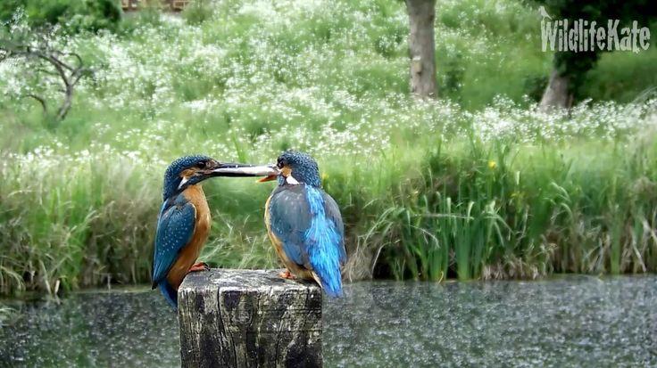 Kingfisher glory