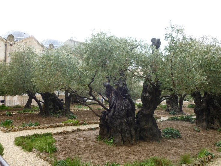 JERUSALEM OLD CITY - These olive trees are estimated to be between one and two thousand years old.  2012