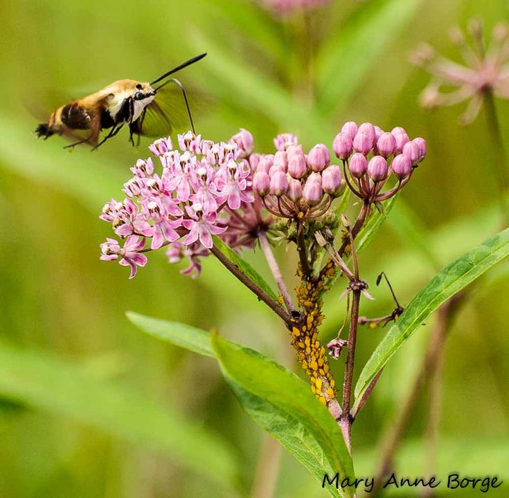 milkweed and loads of bugs article.  excellent stuff