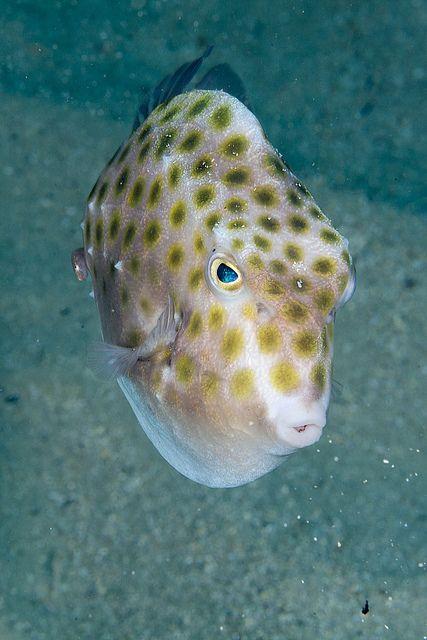 Boxfish MEDUSAS Y PECES Pinterest