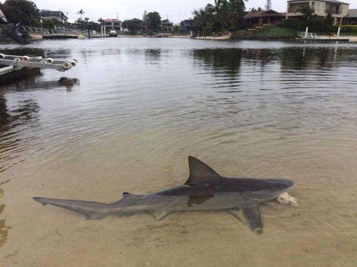 Tubarão que não perde a oportunidade de exibir a barbatana em águas rasas