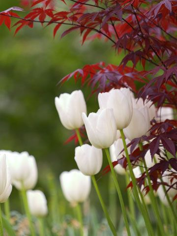 Use Colorful Foliage-Add eye-catching appeal to your spring garden by creating contrasts. Here, the rich purple Japanese maple foliage makes a stunning partner to pure white tulips
