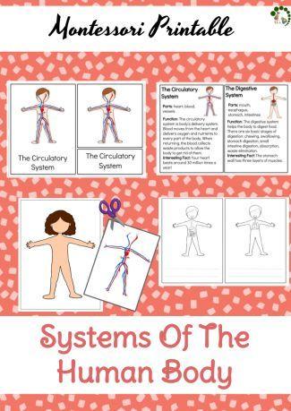 Sistemas del cuerpo humano - Montessori para imprimir - Naturaleza Montessori