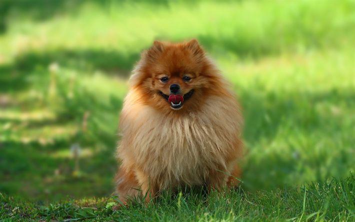 Scarica sfondi Pomerania Spitz, cane di piccola taglia, verde, erba, animali, cani, animali domestici