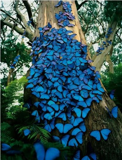 Butterflies blue Morpheus