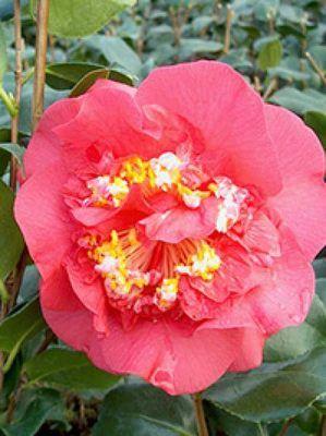 Die Japanische Kamelie / Camellia Japonica R. L. Wheeler verwöhnt das Auge mit rosaweißen Blüten, ist besonders frosthart und blüht in manchen Jahren bereits im November