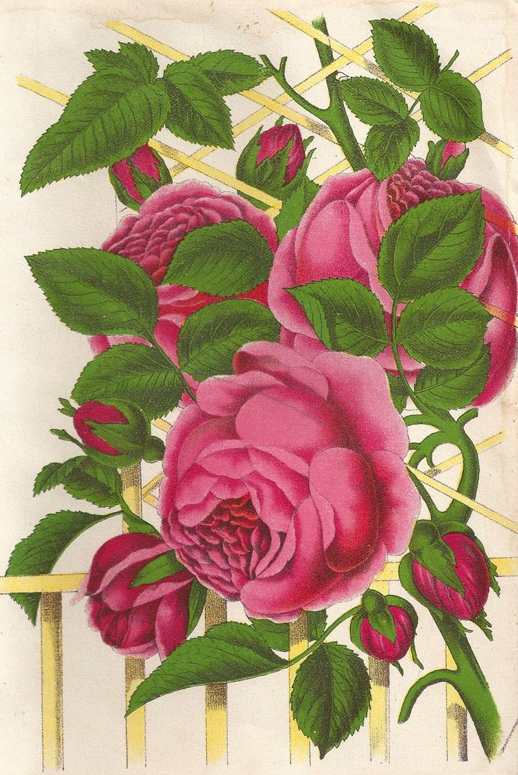 Antique Images: Free Pink Rose Graphic: Vintage Rose Clip ...