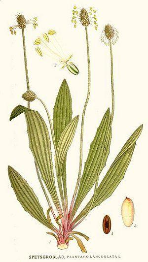 Léčivé byliny v září - Jitrocel kopinatý  Sirup: Ze šťávy je možné připravit i…