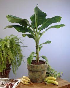 Aprende cómo tener tus propias bananas orgánicas cultivadas en el hogar.