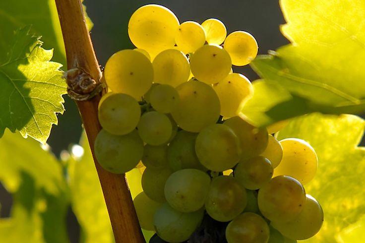 Holdvölgy Winery furmint wine grapes Hungary  Blog.holdvolgy.com
