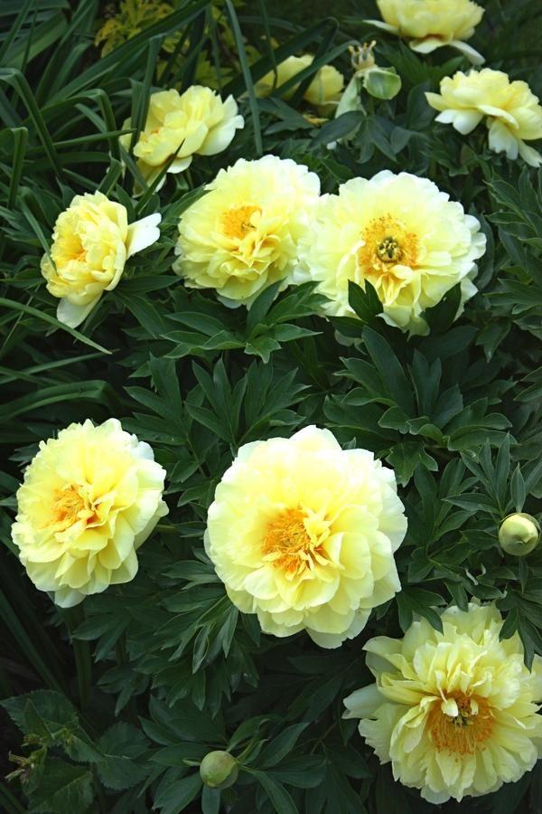 Paeonia Bartzella In 2020 Peonies For Sale Pollinator Plants Peonies Garden