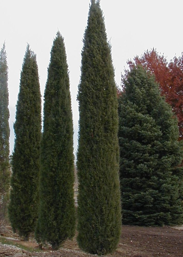 17 best images about evergreens for tight spaces on for Skinny trees for tight spaces