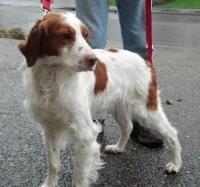 WA/OR- Freckles - Brittany Spaniel  rescue