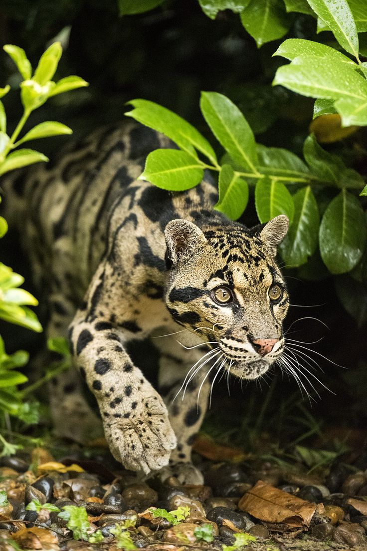 Clouded Leopard Series by Colin Langford