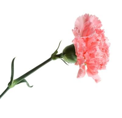 The many varieties of carnation (Dianthus) are florist favorites as well as staples in home flower gardens. This showy flower grows on tall, straight stems, making it ideal for bouquets and cut ...
