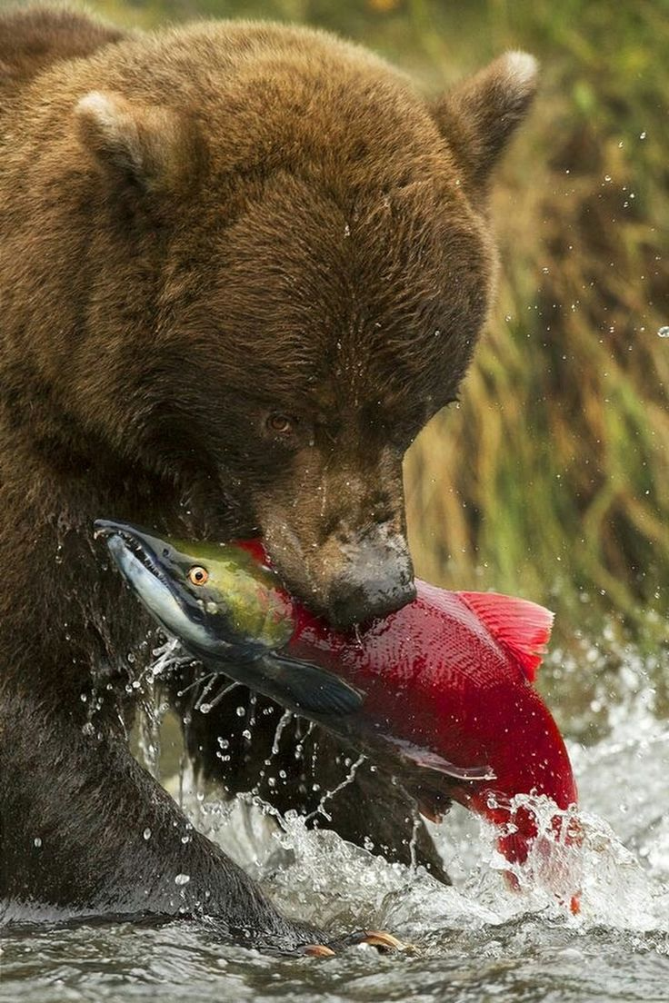 Brown bear catches an old salmon
