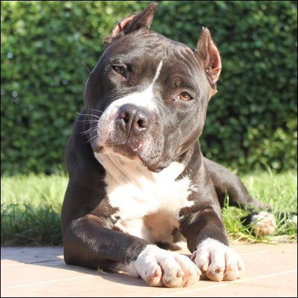 American Staffordshire Terrier (Amstaff) 20