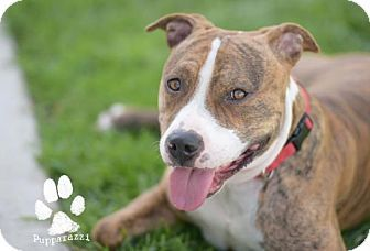 Orange, CA - Pit Bull Terrier Mix. Meet Joey, a dog for adoption. http://www.adoptapet.com/pet/15478084-orange-california-pit-bull-terrier-mix