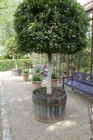 26 Best Bay Trees Images On Pinterest Plants Gardening
