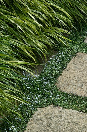 Ground cover you can walk on: Japanese forest grass laps up against stone pavers outlined in blue star creeper for a summer-long contrast in color and texture.