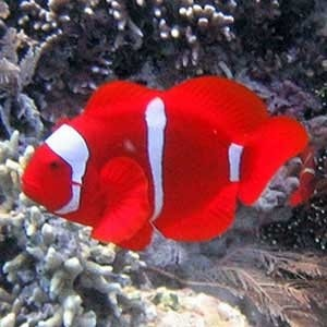 Criadores de peixes ornamentais têm vasto mercado para explorar
