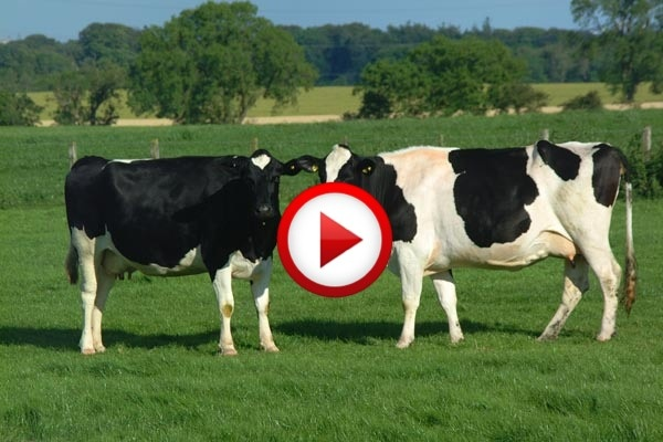 Karate cow #accidents, #animals, #videos, #pinsland, apps.facebook.com...