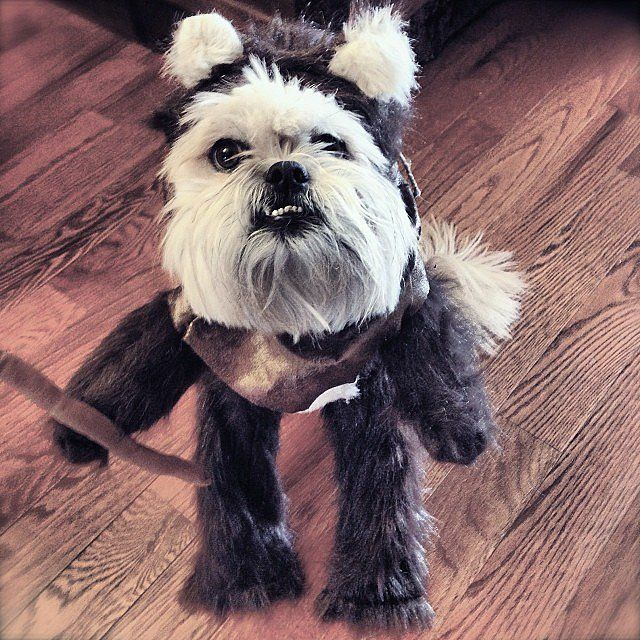 ewok dog costume shih tzu 25 best ideas about ewok dog costume on pinterest names 6184
