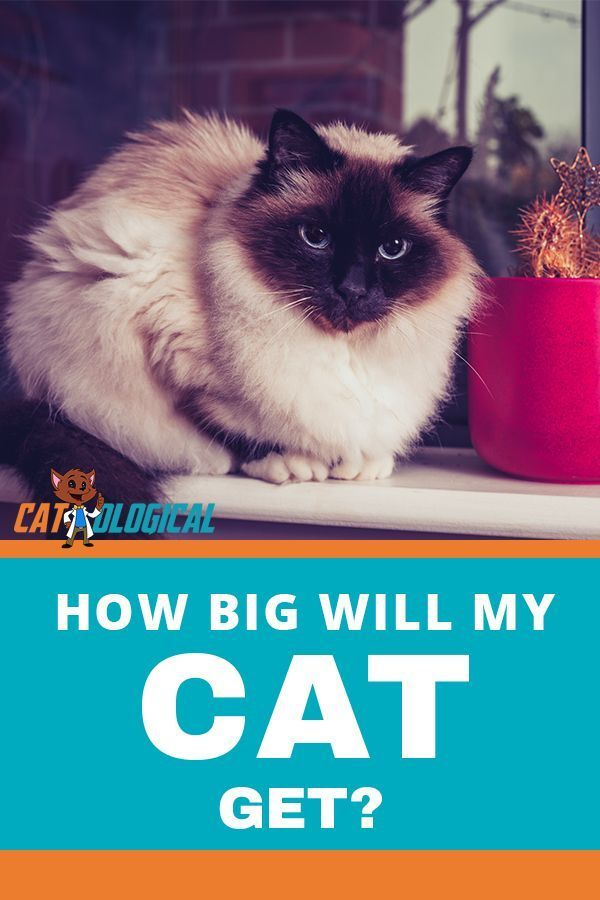 How Big Will My Kitten Get When Is It Fully Grown Plus Growth Chart Getting A Kitten Cat Parenting Dancing Cat