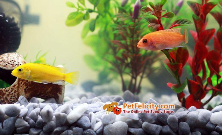 The home aquarium: Mbuna Cichlids Fish