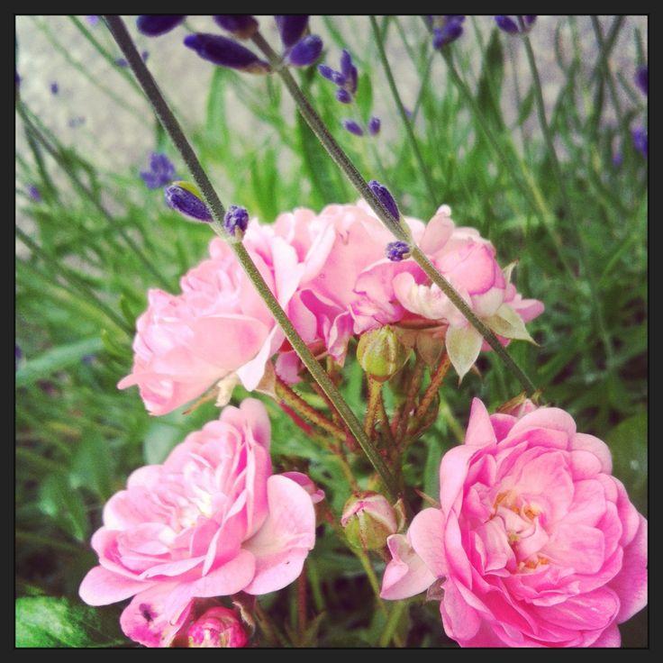 Roser og lavendel