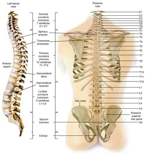 Rear view of spine with every level from the neck down to ...
