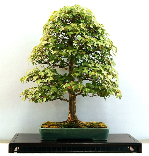 40 Best Images About The Art Of Bonsai On Pinterest Trees Bonsai Trees And Interiors