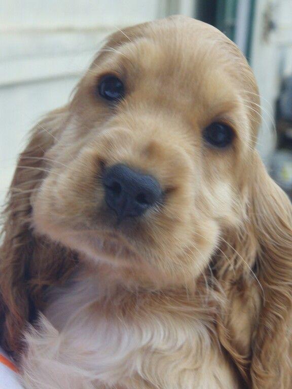 Cocker Spaniel pup cutie