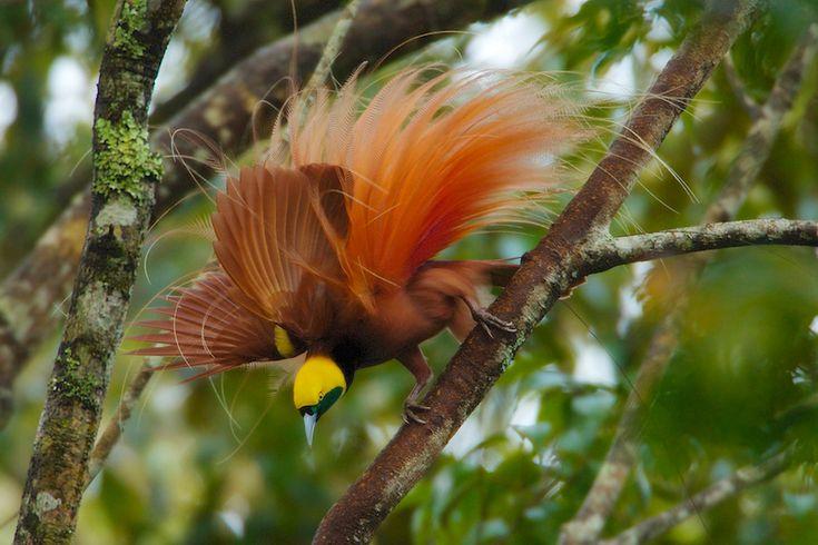 Raggiana Bird-of-Paradise : BIRDS OF PARADISE : Environmental Photographs: Wildlife Photojournalist Tim Laman, Tim Laman