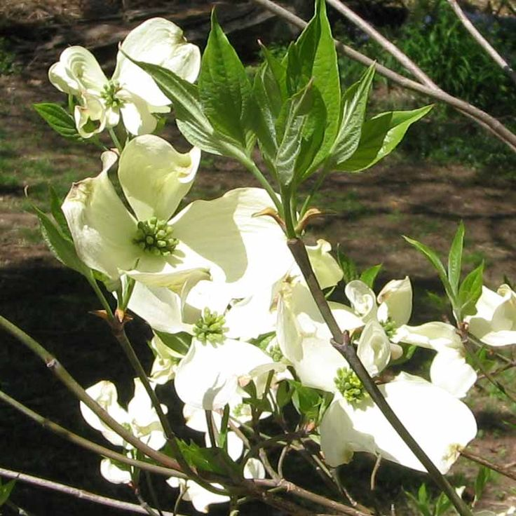 Flowering Tree Identification | Plants and People ...