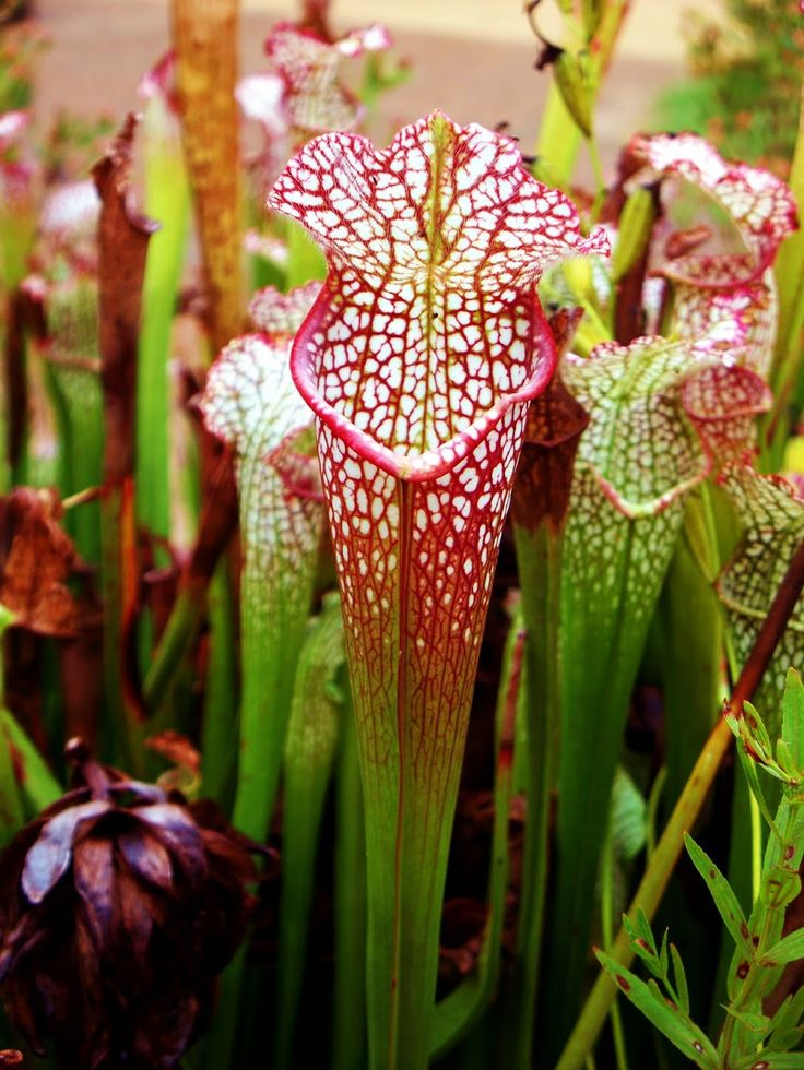 carnivorous plants essay Online essay help carnivorous plants you are here: within the carnivorous plant world there are some truly amazing plants like many carnivorous plants.
