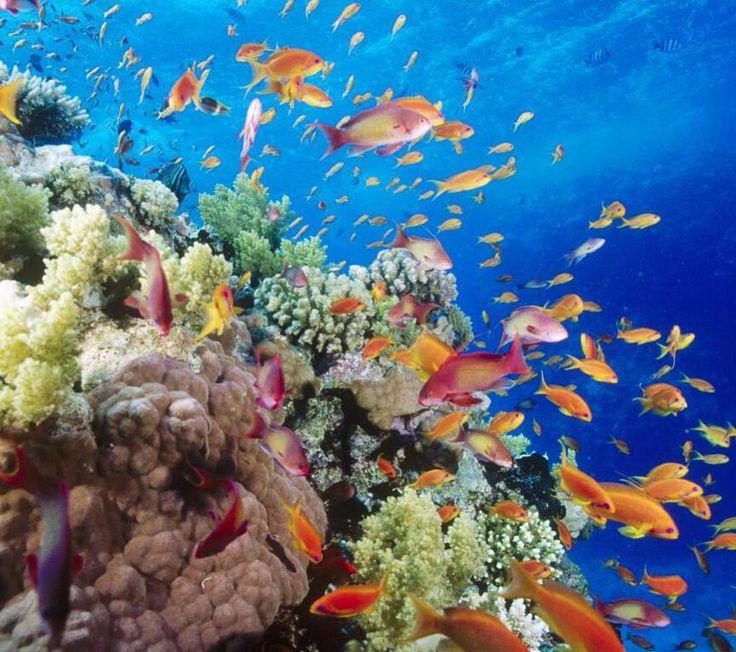 Австралия. Мир океана. Австралия. Чудная и далекая. Ее восточное побережье обладает сокровищем длинной аж в 2 500 километров. Это Большой барьерный риф.  Сине-зеленые воды моря. Теплое солнце круглый год. Разномастные кораллы всех мыслимых форм и оттенков. Причудливые водоросли. Яркие рыбки рыбина акулы  жизнь кипит тут круглый год. Чем и пользуются любопытные туристы. Вооружившись катером маской или аквалангом они отправляются на встречу удивительной красоте. #australia #greatbarrierreef…