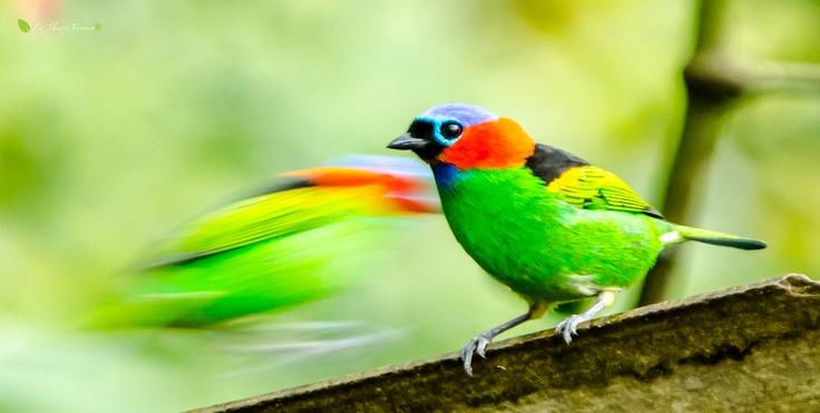 Tangara cyanocephala, also known as went out-of-handkerchief, had left-necked red, soldier and verdelim (NE) is a passerine family tanager.