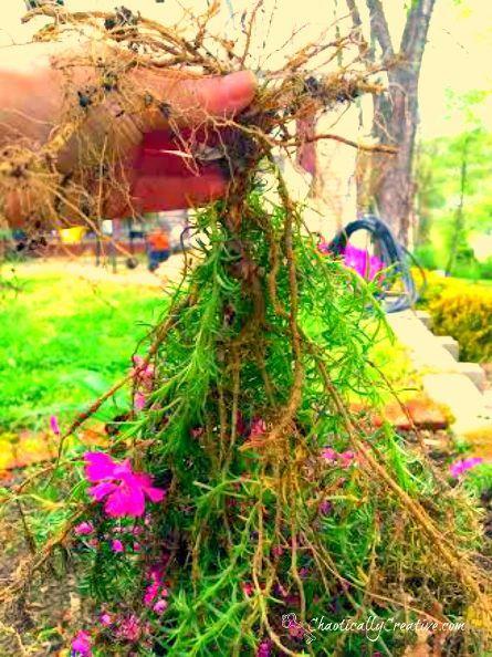 gardening tips transplanting creeping phlox, flowers, gardening