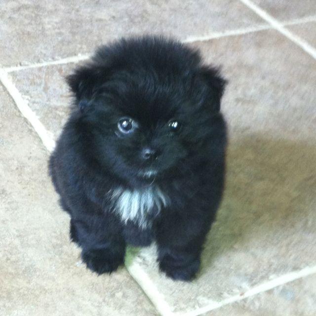 My Fluffy Black Pomeranian Puppy | Puppies | Pinterest