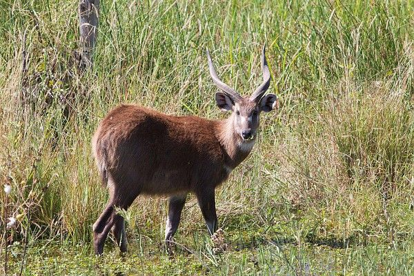 The Okavango Delta's inscription as a World Heritage Site is a major conservation milestone #Rarity #Sitatunga