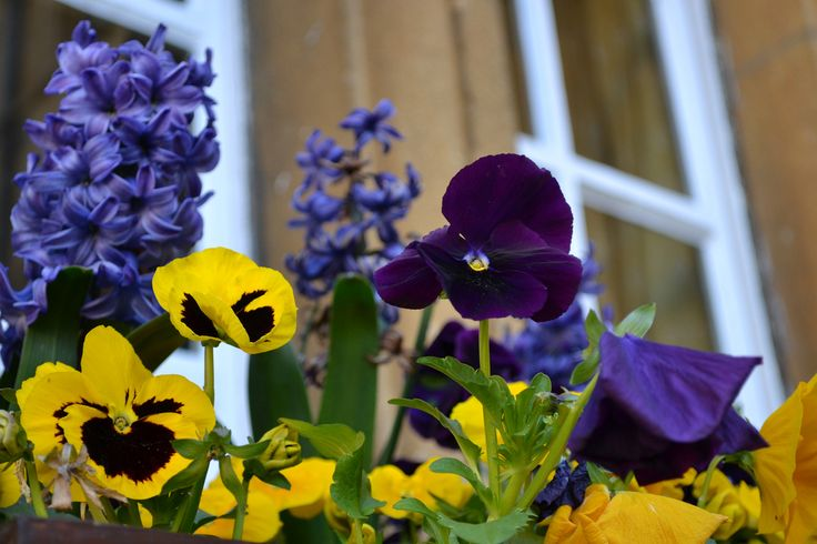 Window boxes with Hyacinths and Pansies - univ.ox.ac.uk
