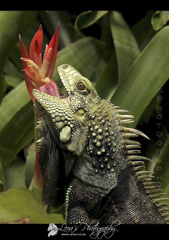 Green Iguana by Rute Martins on 500px ---|| Example for drawing scales.