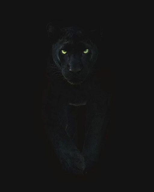 خلفيات الفهد الاسود خلفيات الفهد الاسود النمر الأسود هو نوع من الن Black Jaguar Animal Puma Animal Black Black Panther Cat