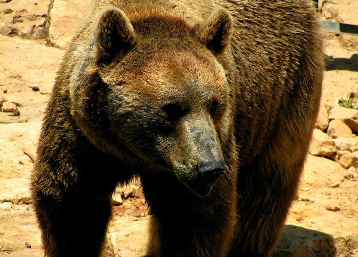 Romanian brown bear