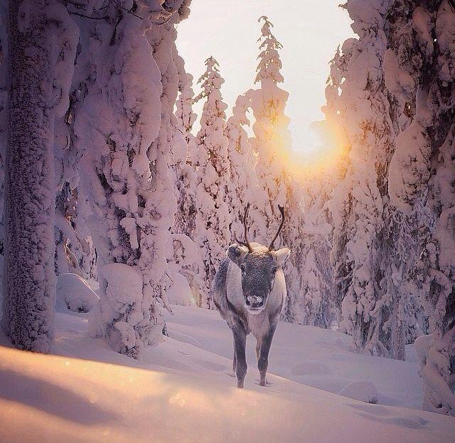 Reideer in Finnish Lapland. Konsta Punkka Finland