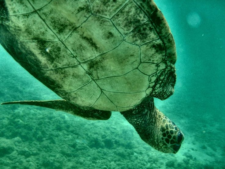 Hey r/wildlifephotography. This is the picture that I'm most proud of. Hawaiian sea turtle (Honu) taken on the North Shore of Oahu with my GoPro Hero3. What do you think?