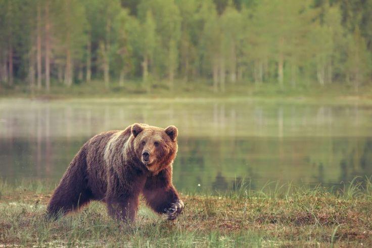 Karhu – kansalliseläin