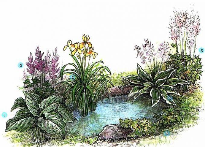 1. Хоста Зибольда (Hosta sieboldiana) 2. Астильба Арендса (Astilbe arendsii) 3. Ирис болотный (Iris pseudoacorus) 4. Хоста ланцетолистная белоокаймленная (Hosta laucifolia var. albo-margenata) 5. Астильба Арендса (Astilbe х arendsii) 6. Калужница болотная (Caltha polustris)