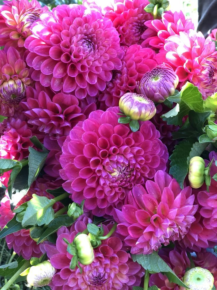 Pin on Dahlias 2019